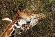 Free Giraffe Eating Stock Images - 22022544