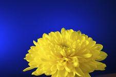 Free Chrysanthemum, Yellow Royalty Free Stock Images - 22024159