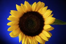 Free Sunflower Royalty Free Stock Photo - 22024175