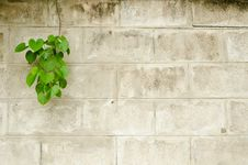 Free Old Brick Wall With Green Leafs Royalty Free Stock Photography - 22026387