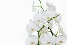 Free Delicate White Orchid Stock Photography - 22029242