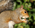 Free Grey Squirrel Stock Photography - 22039962