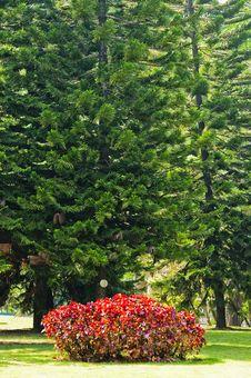 Free Cedar  Tree Royalty Free Stock Photo - 22030405