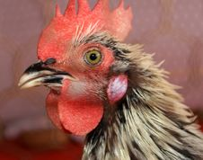 Free Black And White Roosters Head Royalty Free Stock Image - 22031636