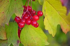 Free Red Currant Royalty Free Stock Image - 22035216