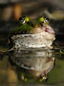 Free Edible Frog Stock Image - 22038651