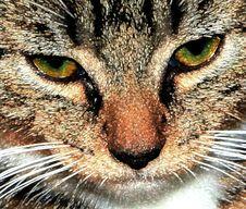 Free Jeweled Kitten Portrait Stock Image - 22039511