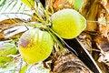 Free Coconuts Stock Photos - 22046453