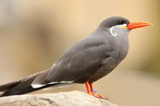Free Inca Tern Royalty Free Stock Photography - 22040187