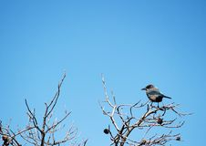 Free Western Scrub Jay Stock Photography - 22040432