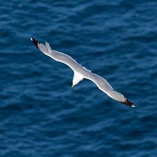 Free Seagull Stock Photography - 22042092
