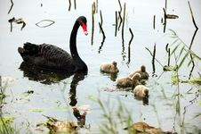 Free Black Swan Parents And Its Children Royalty Free Stock Photos - 22044878