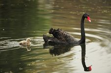 Free Black Swan Parents And Its Children Royalty Free Stock Photos - 22044948