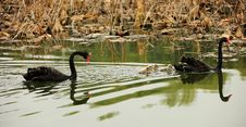 Free Black Swan Parents And Its Children Royalty Free Stock Image - 22044976