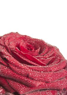 Free Red Rose Isolated On A White Background Stock Photography - 22047892