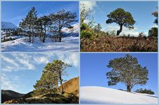Evergreen Trees Royalty Free Stock Photography