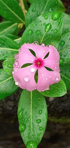 Free Kudalu Flower In Sri Lanka Stock Photography - 220451282