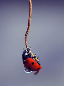 Free Ladybird Royalty Free Stock Photography - 22052537