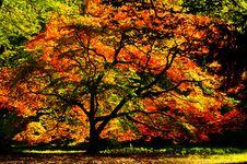 Free Acer Palmatum Royalty Free Stock Images - 22053959