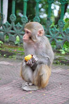 Free Indian Monkey Stock Photography - 22054382