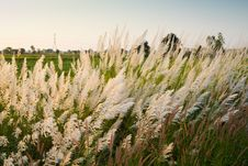 Free Reed Field Stock Images - 22055324