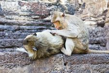 Free Family Of Monkeys Royalty Free Stock Photos - 22058048