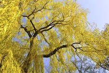Free Autumnal Willow Stock Photo - 22059400