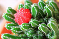 Free Moon Cactus / Ruby Ball Stock Photography - 22060112