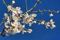 Free White Almond Flower In Majorca Royalty Free Stock Photos - 22060448