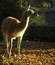 Free Lama Royalty Free Stock Photography - 22067907