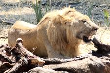 Free Lion With A Meal Royalty Free Stock Photos - 22060228