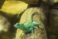 Free Green Basilisk Lizard (Basiliscus Plumifrons). Royalty Free Stock Photo - 22062165