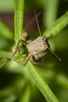 Free Grasshopper Stock Photo - 22064480