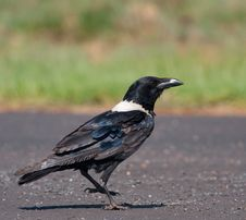 Free Pied Crow On Road Stock Photos - 22067753