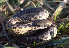 Free Garter Snake In The Grass Royalty Free Stock Photo - 22069015