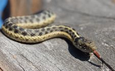 Free Garter Snake Smelling Stock Photos - 22069033