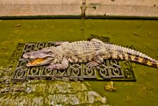 Free The Crocodile In Zoo Royalty Free Stock Photography - 22071547