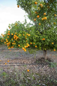 Free Valencia Orange Trees Royalty Free Stock Photography - 22075277