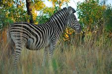 Free Burchell S Zebras (Equus Burchellii) Royalty Free Stock Image - 22076686