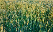 Free Green Wheat Field Royalty Free Stock Photos - 22077698