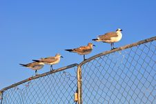 Free Seagulls On A Metal Fence At The Beach Stock Images - 22078074