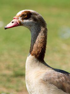 Free Egyptian Goose Stock Image - 22083021