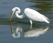 Free Great White Egret Royalty Free Stock Photography - 22083027