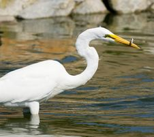 Free Great White Egret Royalty Free Stock Photography - 22083037