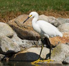 Free Snowy Egret Stock Image - 22083041