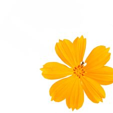 Yellow Cosmea Flower Isolated On White Background Royalty Free Stock Images