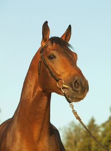 Free Portrait Of Nice Bay Horse Royalty Free Stock Image - 22086906