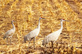 Free Three Sandhill Cranes Royalty Free Stock Image - 22093046
