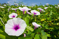Free Morning Glory Flower. Stock Image - 22098161