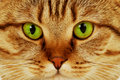 Free Close-up Portrait Of Green-eyed Cat Stock Images - 22099234